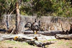 O ema é muito grande asas desmembradas um animal mas não pode voar Imagem de Stock