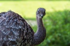 O ema de Darwin, pennata do ema igualmente conhecido como pouco ema foto de stock royalty free