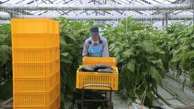 O empregado novo move o carro com colheita das beringelas no agro complexo industrial Transfere o trole com recipientes video estoque
