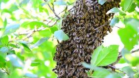 O enxame da abelha na árvore de ameixa video estoque