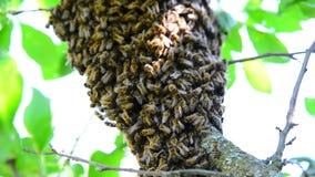 O enxame da abelha na árvore de ameixa filme