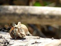 O eremita crabs feliz. Imagem de Stock Royalty Free