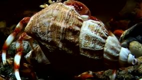 O eremita do câncer sai do underwater do shell à procura do alimento no mar branco filme