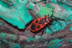O erro vermelho do soldado rasteja ao longo do tronco de uma árvore colorida Fotos de Stock