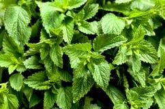 O erva-cidreira deixa a cozinha ou a erva da saúde - officinalis do melissa Imagem de Stock Royalty Free
