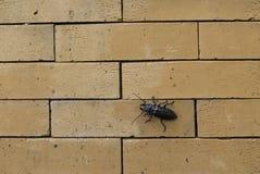 O escaravelho escala calmamente a parede de tijolo Imagens de Stock