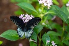 O escarlate da borboleta masculina do swallowtail com asas abre fotos de stock