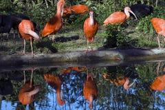 O escarlate de Ibis Foto de Stock