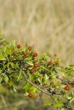 O escarlate do hawthorn Fotografia de Stock