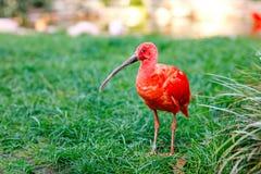 O escarlate dos íbis ou ruber vermelho de Eudocimus é pássaro nacional de Trindade e Tobago Parque do animal e do pássaro em Wals imagens de stock royalty free