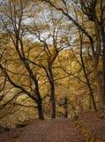 O esclarecimento da floresta na floresta da faia do outono com as árvores velhas altas e as folhas caídas ao longo de uma pedra a Foto de Stock