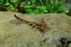 O escorpião de Brown, branco e vermelho encontrou durante uma caminhada na floresta úmida tropical das Amazonas imagem de stock