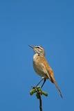 O Esfregar-pisco de peito vermelho de Kalahari (pisco de peito vermelho) empoleirou-se contra o céu azul Fotos de Stock Royalty Free
