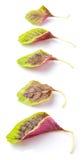 O espinafre vermelho chinês sae de II Imagens de Stock Royalty Free