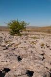 O espinho solitário Foto de Stock Royalty Free