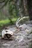 O esqueleto de um carneiro do Big Horn na floresta em Rocky Mountain National Park fotografia de stock royalty free
