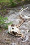 O esqueleto de um carneiro do Big Horn na floresta em Rocky Mountain National Park fotos de stock royalty free