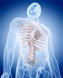 O esqueleto humano - o tórax Foto de Stock Royalty Free