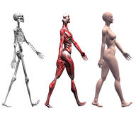 O esqueleto Muscles a fêmea humana Foto de Stock Royalty Free