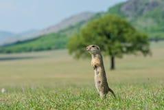 O esquilo à terra Imagens de Stock Royalty Free