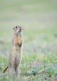 O esquilo à terra Imagem de Stock