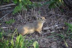 O esquilo à terra de Richardson (Gopher) fotos de stock