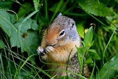 O esquilo à terra do ` s de Thompson alimenta na grama verde no parque nacional de geleira Fotos de Stock