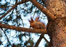 O esquilo é consideravelmente roedor imagem de stock royalty free