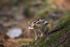 O esquilo Fotografia de Stock Royalty Free