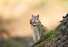 O esquilo Imagens de Stock Royalty Free