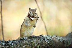 O esquilo fotos de stock