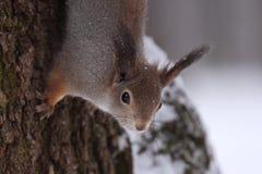 O esquilo. Foto de Stock Royalty Free