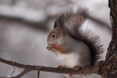 O esquilo. Imagens de Stock