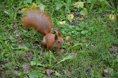 O esquilo Foto de Stock Royalty Free