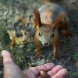 O esquilo armazena o alimento Imagem de Stock