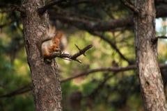 O esquilo bonito alaranjado que senta-se na árvore e que come a porca na floresta Imagem de Stock