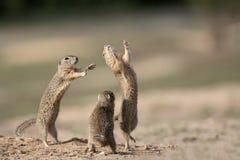O esquilo bonito smal da árvore está jogando na areia fotografia de stock royalty free