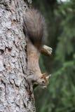 O esquilo chega imagens de stock