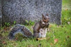 O esquilo cinzento fotografia de stock royalty free