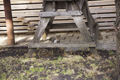 O esquilo cinzento recolhe e come bolotas A rotação na natureza Alimenta??o animal fotos de stock royalty free