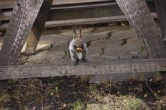 O esquilo cinzento recolhe e come bolotas A rotação na natureza Alimenta??o animal foto de stock royalty free