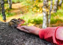 O esquilo come com mãos Imagens de Stock Royalty Free