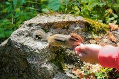O esquilo come com mãos Imagem de Stock Royalty Free