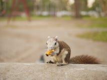 O esquilo come o fruto Foto de Stock Royalty Free