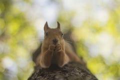 O esquilo come a porca em uma árvore headfirst imagens de stock