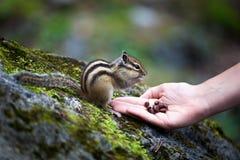 O esquilo come porcas Fotografia de Stock Royalty Free