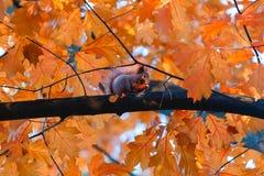 O esquilo come porcas no ramo da árvore do outono Imagem de Stock Royalty Free