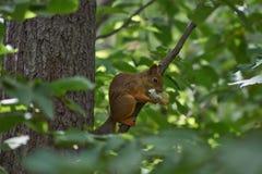 O esquilo come um cogumelo encontrado Fotos de Stock