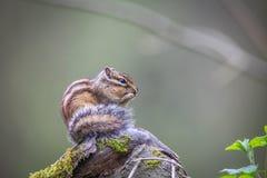 O esquilo comer Fotografia de Stock
