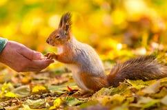 O esquilo comunica-se com o homem no parque do outono Foto de Stock Royalty Free